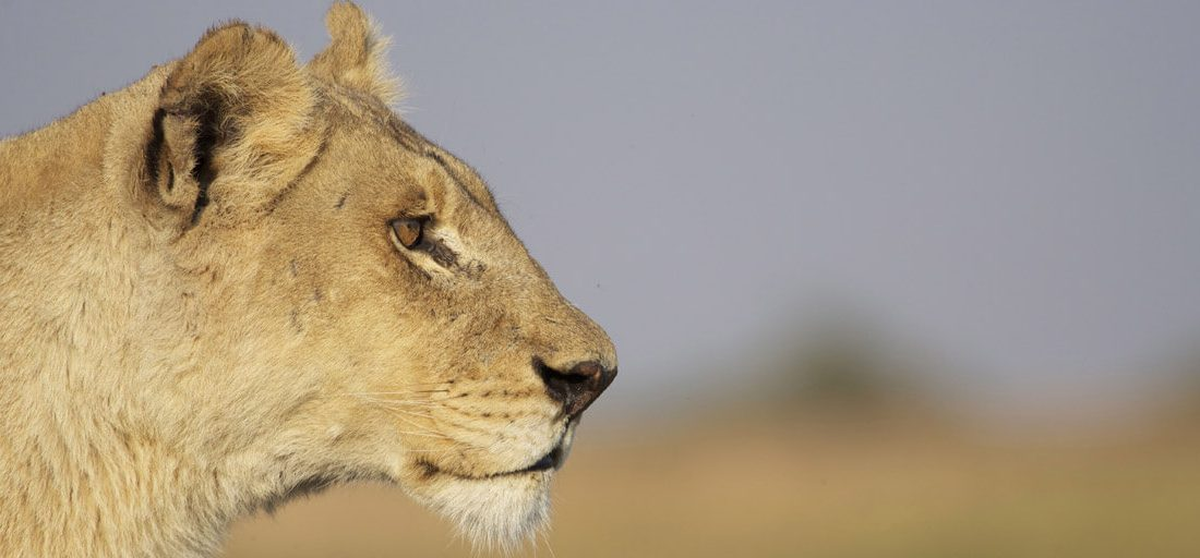 The lions of the Okavango Delta