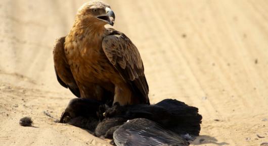 Tawny eagle kill on safari in Chobe, Botswana