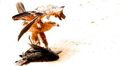 Tawny eagle kill on safari in Chobe, Botswana