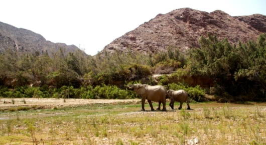 Desert adapted Elephants drinking from the Hoarusib river