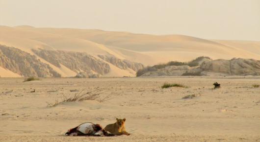 In the Hoarusib river bed we found a lioness on an oryx kill with the Atlantic ocean beyond the distant sand dunes