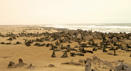 An estimated 30 to 40 thousand cape fur seals can be found at Cape Frio