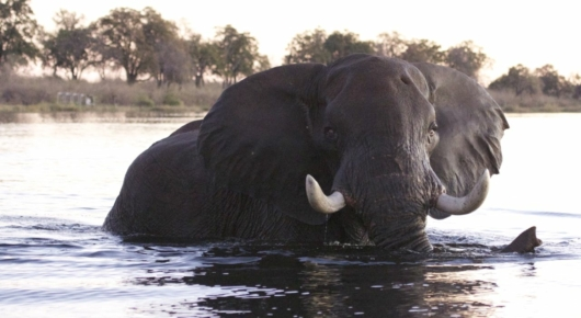 An elephant bull crosses the Linyanti river