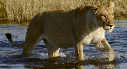 The lions of the Okavango Delta are adept at living in a watery environment