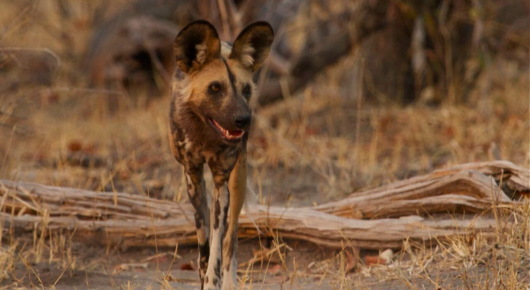 Botswana is one of the best places to find the endangered African wild dog. This one seen with its pack in the Linyanti in northern Botswana