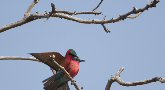 Carmine bee-eaters mating in early spring along the Chobe, where huge flocks congregate from September