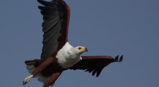 The king of the waterways – a fish eagle takes flight
