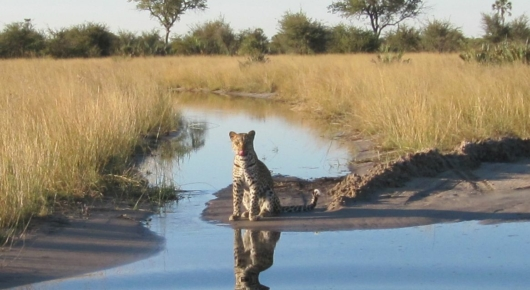 This leopard met us on the other side of a water crossing on a game drive through the Delta