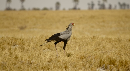 A secretary bird in the Makgadikgadi pans