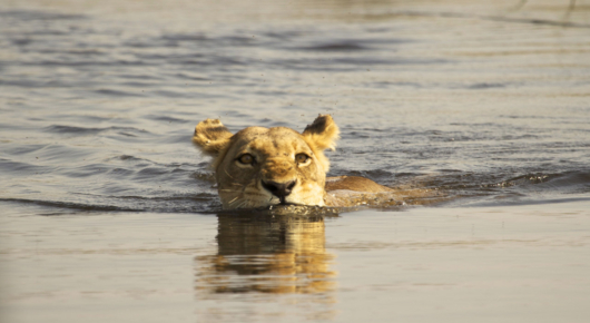 A lioness swims between Delta islands