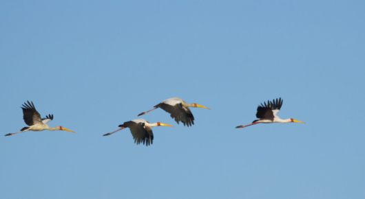 Yellow billed storks on the move