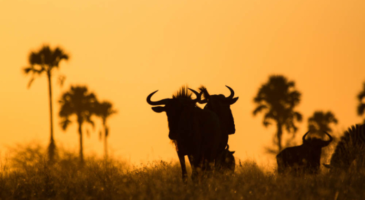 Wildebeest decorate a kalahari sunset
