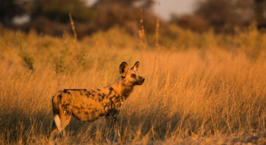 Alpha female Wild dog at Selinda