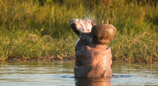A hippo shows us who's boss