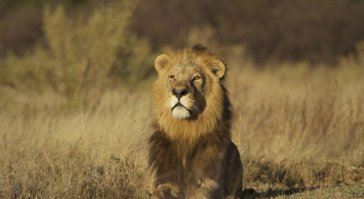 A beautiful male lion graces our camp surrounds in Moremi