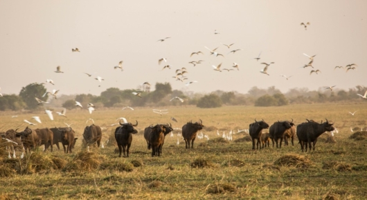 Buffalo and cattle egrets