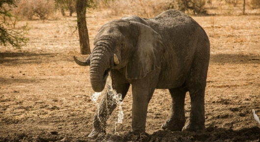 Elephant bull drinking close to Camp Nomade