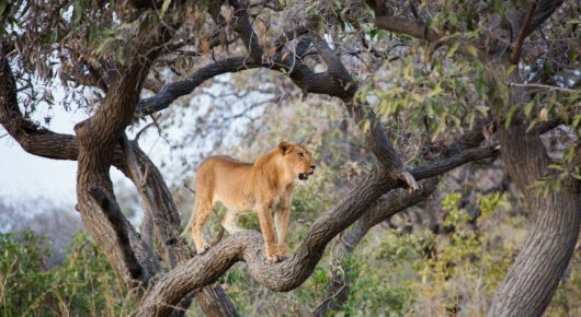 We found a pride of 6 lions soon after arriving in Zakouma. A tree lookout appeared to signify the start of the evening's activities
