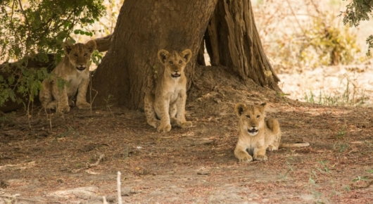 These lion cubs were stashed under a tree as their mother went off on an afternoon hunt