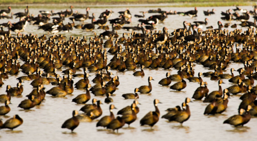 White-faced whistling ducks by the hundreds