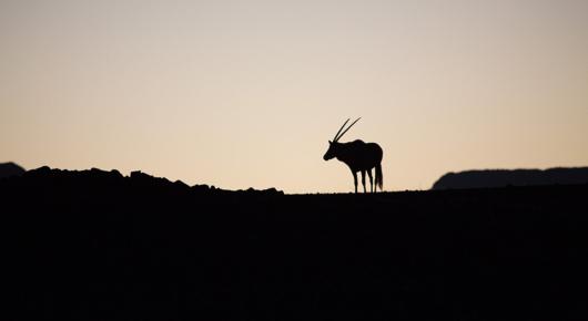 Oryx at sunrise