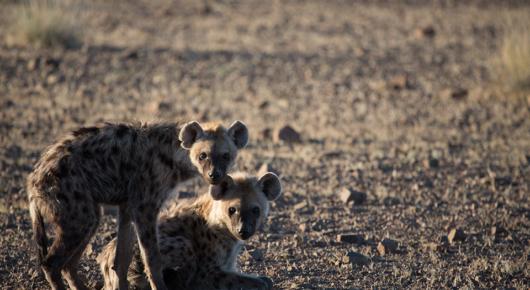 Spotted hyaena in Damaraland