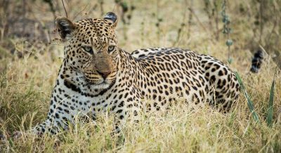 Leopard Mania in Botswana
