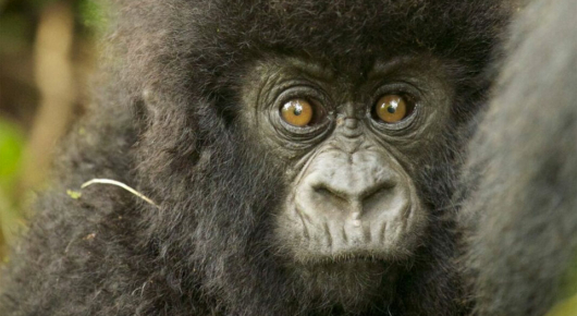 A young gorilla clutches at his mother