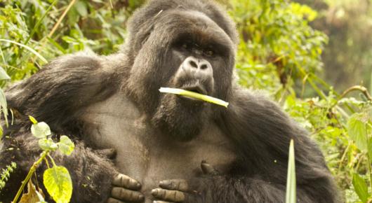 A silverback mountain gorilla shows his strength