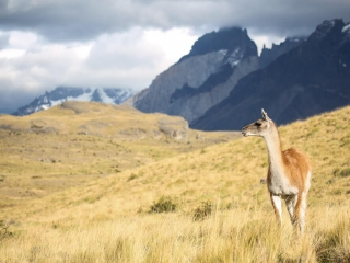 A guanaco on the lookout