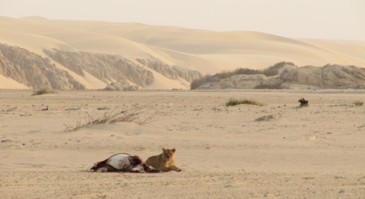 Lioness on an oryx kill in the Skeleton Coast