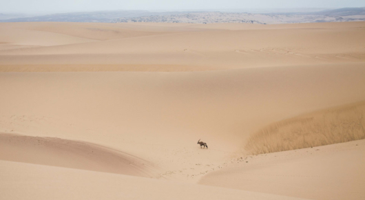 Lone oryx in the skeleton coast