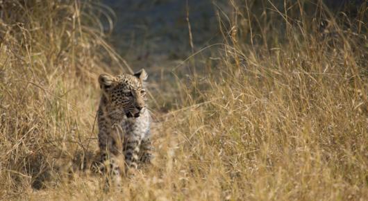 A leopard cub follow its mother through long grass in Khwai