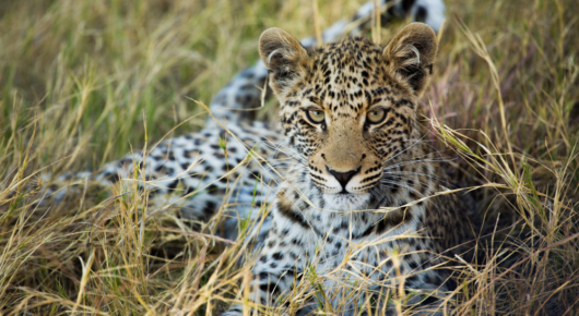 A young leopard contemplates the excited photographers