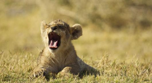The lions of the Okavango Delta