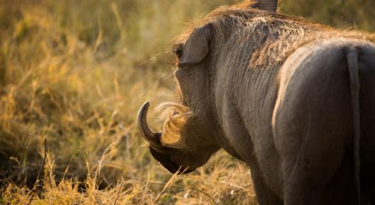 A glowing warthog!
