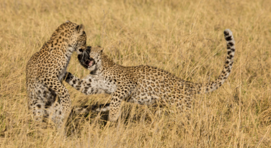 Two young females playing while their mother was out hunting