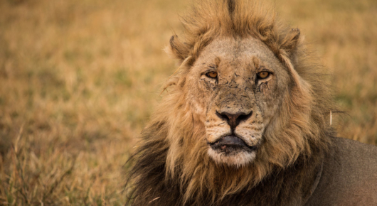 A male lion at Mombo with a few stories to tell
