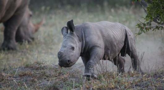 A charging white rhino calf