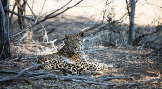 A leopard rests after killing an impala
