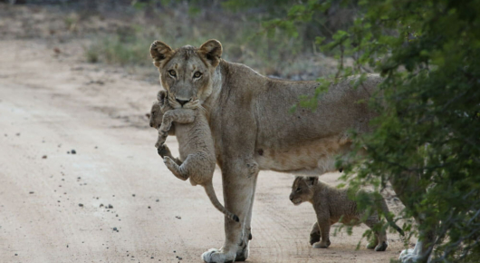A lioness moves her cubs to a new den