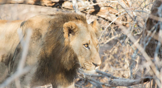 A young Kruger male lion