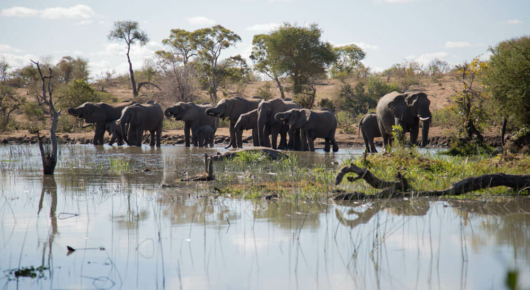 Elephants drinking at a waterhole in the Timbavati