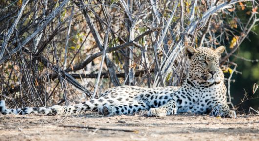 Female leopard on the Sabie river