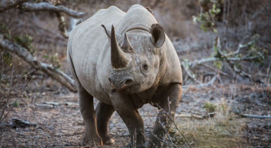 It's always special seeing black rhino in the Kruger Park