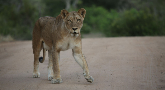 Lions have benefited from the drought with weakened prey easy to come by