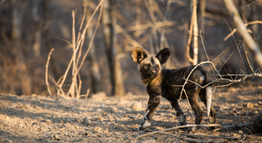 We were very lucky with our wild dog sightings