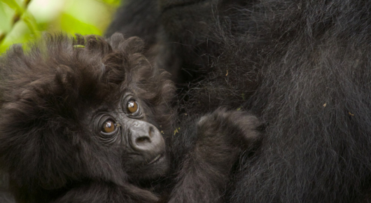 A baby gorilla clings to its mother