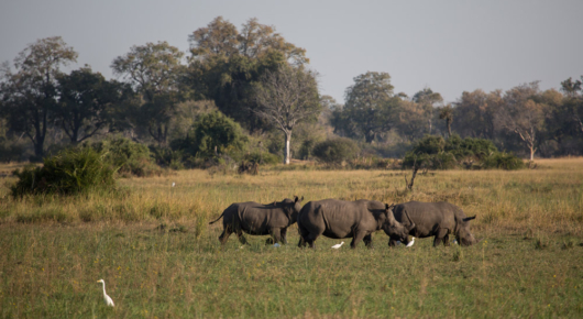 A crash of white rhino in the open plains near Mombo