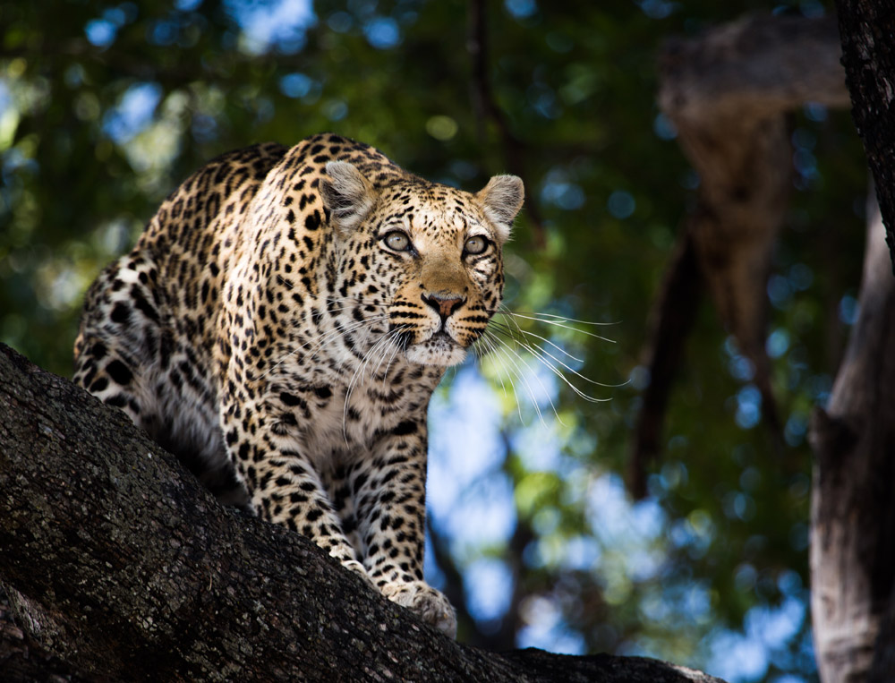 A female leopard on the Selinda concession - Botswana